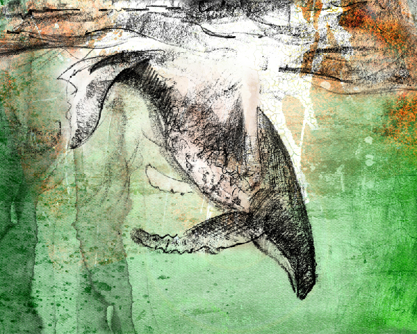watercolor and graphite painting of humpback whale by wildlife artist Crystal Smith in BC Canada